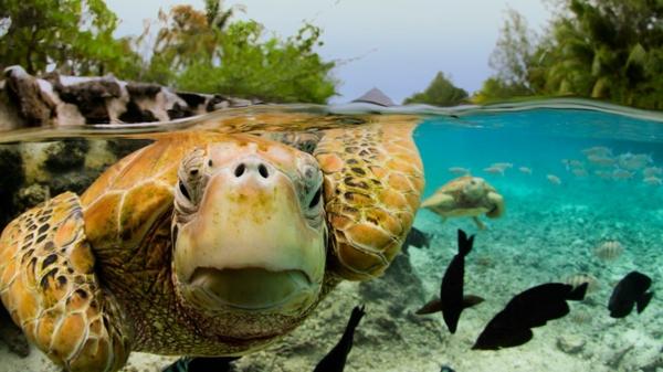 urlaub-in-französisch-polynesien-eine-schildkröte-unter-dem-wasser