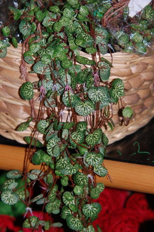 leuchterblume-Ceropegia sandersonii-klein-herzform