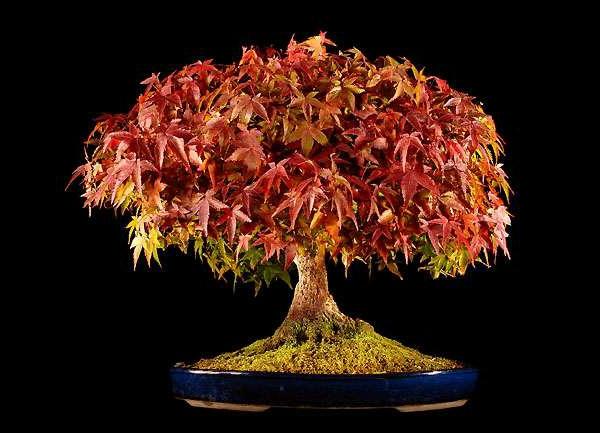 Herbstfärbung-bei-Bonsai