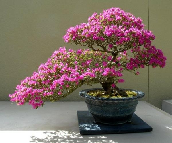 Blütenpracht-bei-Bonsai
