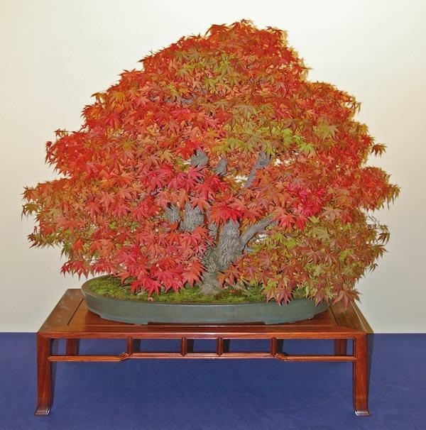 Besondere-Laubfärbung-bei-Bonsai