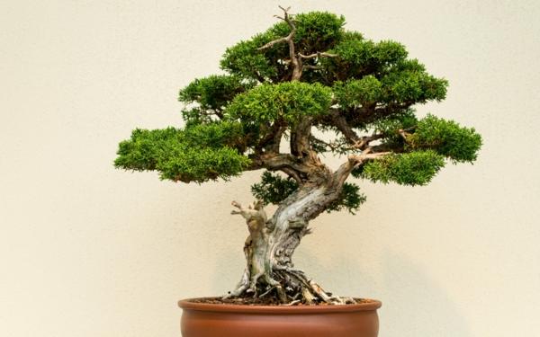 Bonsai-Arten-als-Nadelgehölz