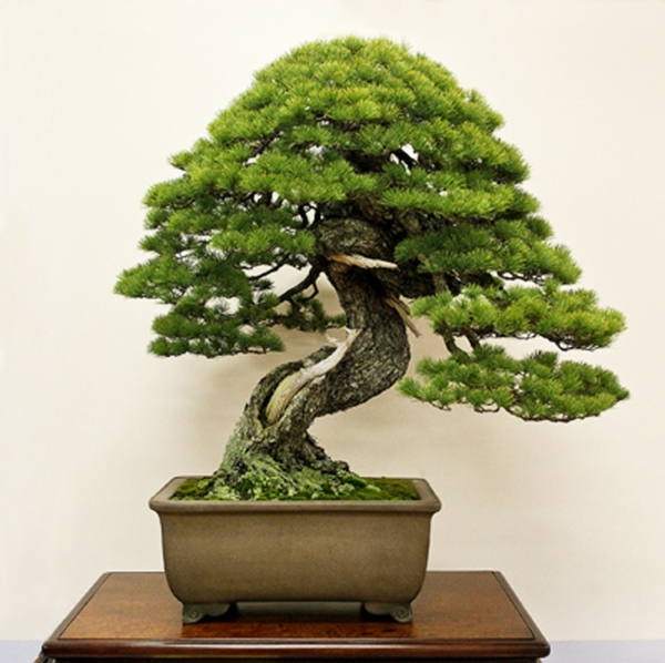 Bonsai-als-Immergrünes