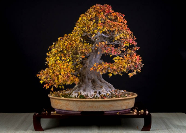 Bonsai-in-Herbstfarben