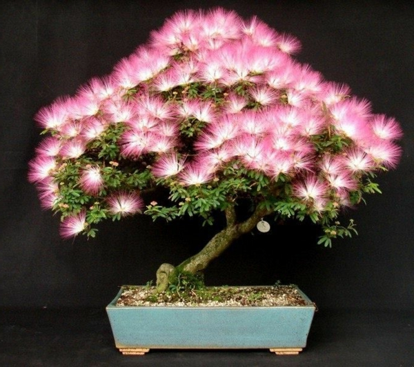 Bonsai-in-Blüte
