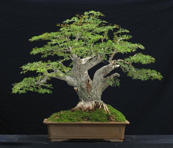 Bonsai-mit-breitem-Wuchs