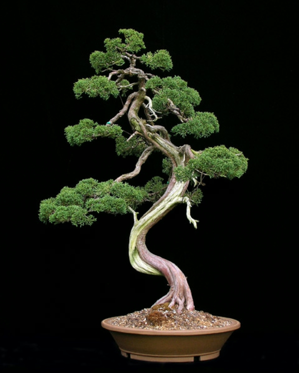 Immergrünes-Bonsai