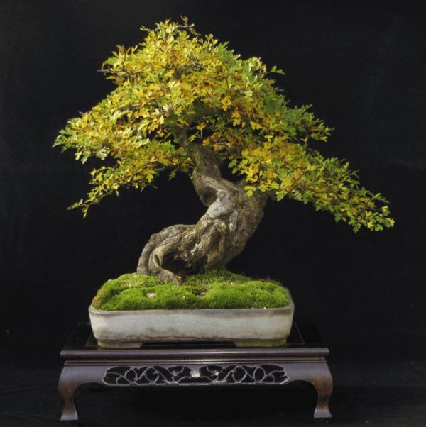 Herbstfärbendes-Laub-bei-Bonsai