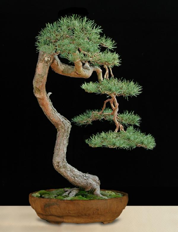 Bonsai-Arten-als-stufige-Gestaltungsweise