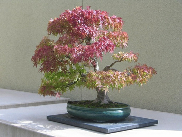 Bonsai-Arten-in-rot-gelber-Pracht