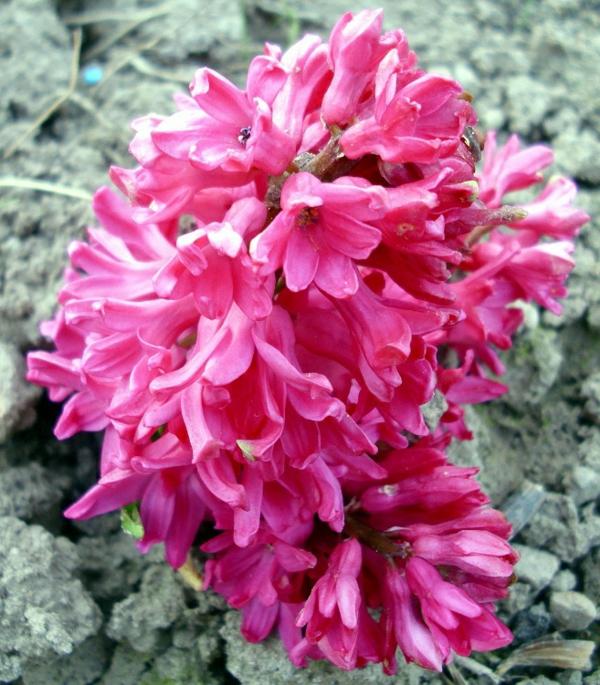 pinke-hyazinthe-auf-kies