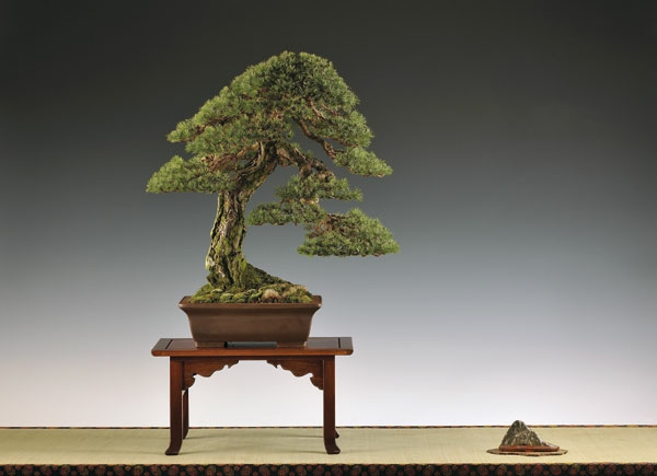 Bonsai-Gehölz-als-Komposition