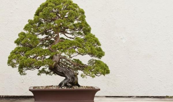 Bonsai-mit-pyramidaler-Krone