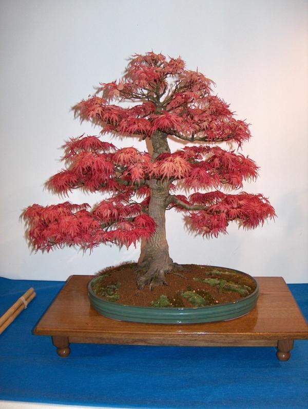 Rotlaub-bei-Bonsai