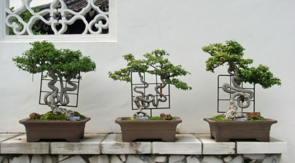 Stammformen-bei-Bonsai