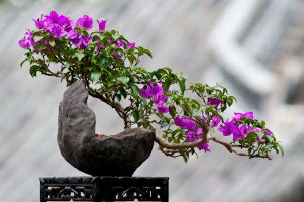 Bonsai-Arten-in-besonderer-Wuchsform