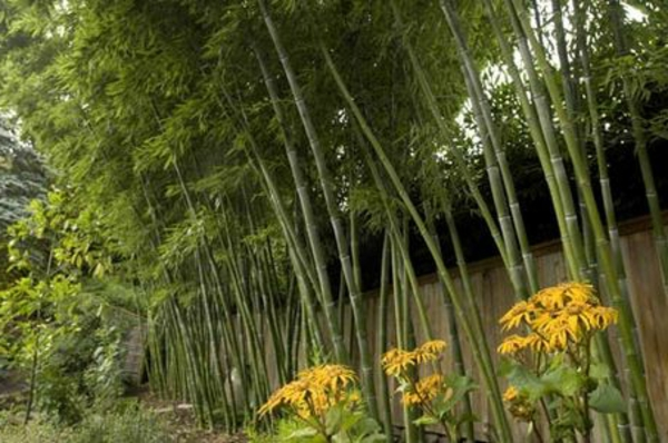 bambus-garten-groß-und-herrlich-aussehen