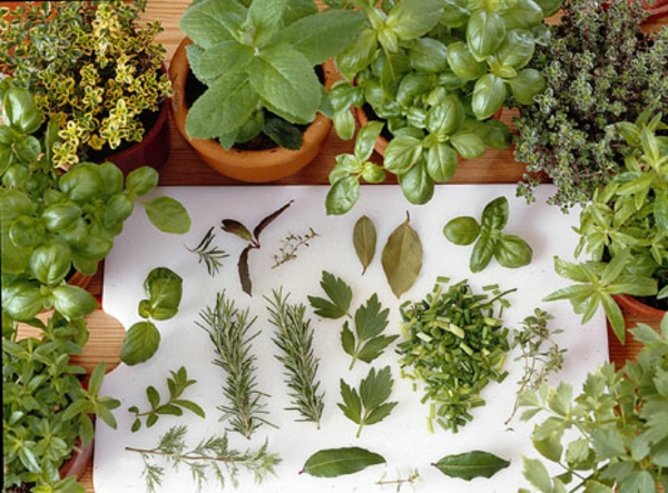 küchenkräuter-für-den-kräutergarten