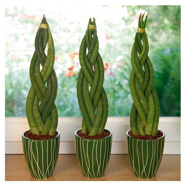 sansivieria-pflanze-geflochten-deko