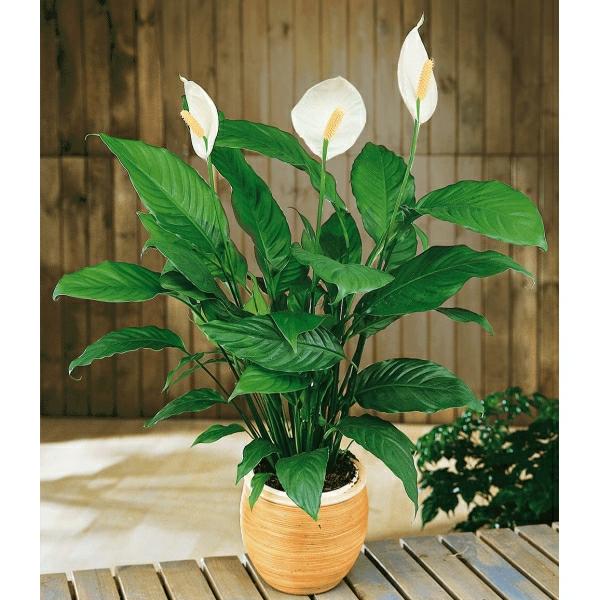 einblatt-blattfahne-spathiphyllum-floribundum