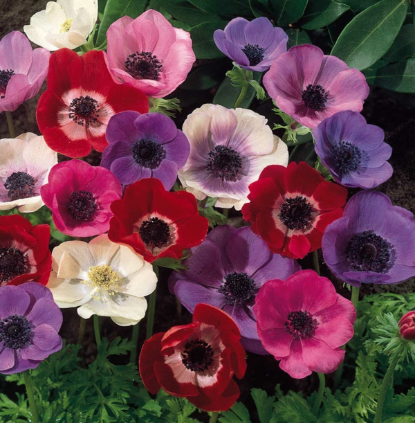 Anemonen-in-schönen-farben-lila-rot-rosa
