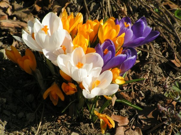 Frühlingsblumen_Krokus