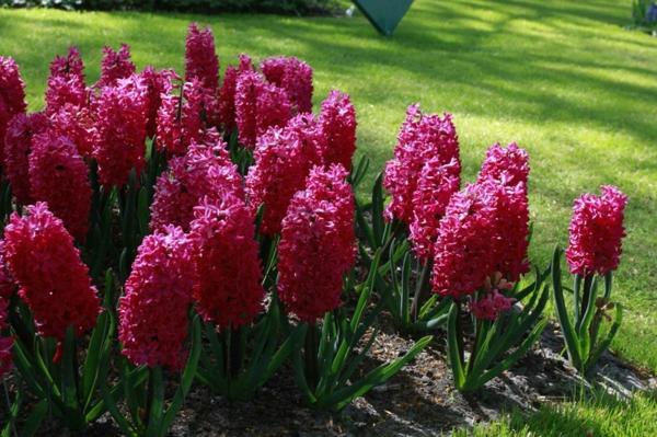 Hyacinthus-schöne-bilder-mit-blumen