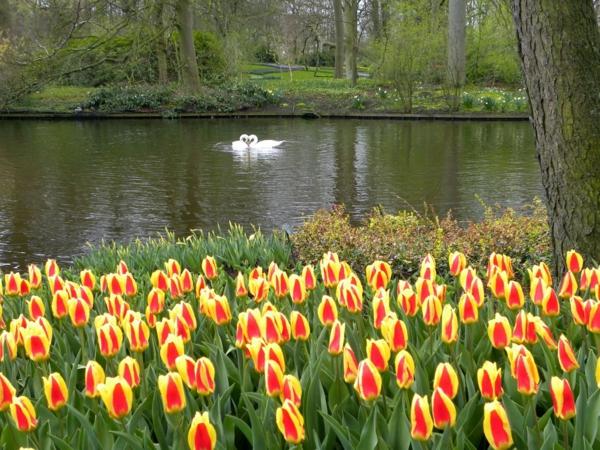Keukenhof-bilder-tulpen-pflanzen-die-tulpe-tulpen-aus-amsterdam-tulpen-bilder-tulpen-kaufen