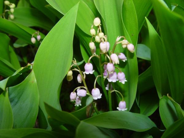 Lily-of-the-Valley-deko-ideen-blumendeko-weiße-frühlingsblumen-bilder-gartenblumen-rosa