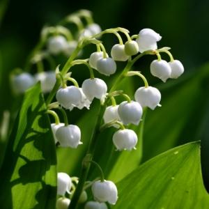 Maiglöckchen - eine beliebte Frühlingsblume!