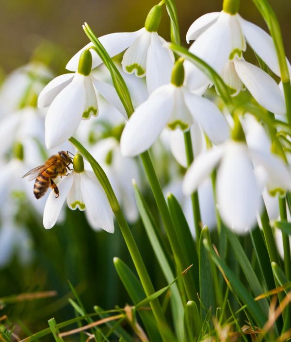 schneeglöckchen - biene-und-weiße-blumen-galanthus-nivalis-amaryllisgewächse-schneeweiße-blume-pflanzen