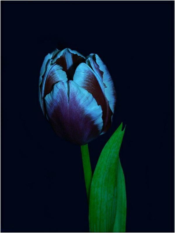 bild-von-schwarzer-tulpe-mit-brauen-nuancen