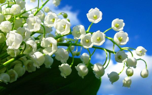 bilder-frühlingsblumen-in-weißer-farbe-deko-ideen-blumendeko-weiße-frühlingsblumen-bilder-gartenblumen