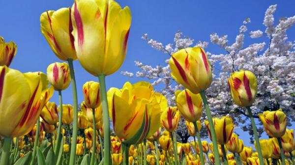 bilder-tulpen-pflanzen-die-tulpe-tulpen-aus-amsterdam-tulpen-bilder-tulpen-kaufen--