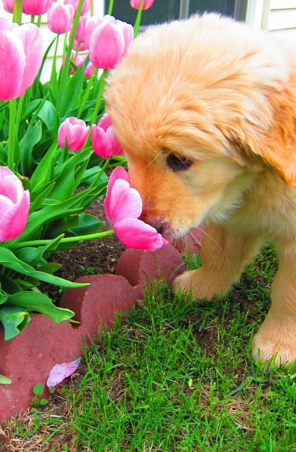 bilder-tulpen-pflanzen-die-tulpe-tulpen-aus-amsterdam-tulpen-bilder-tulpen-kaufen-hund