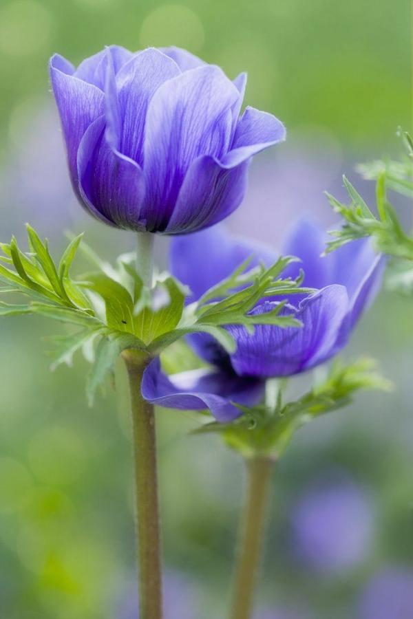 bilder-tulpen-pflanzen-die-tulpe-tulpen-aus-amsterdam-tulpen-bilder-tulpen-kaufen-lila