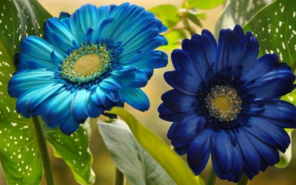 blaue-gerbera-garten-gestalten-frühlingsblumen-gerbera-sommerblumen