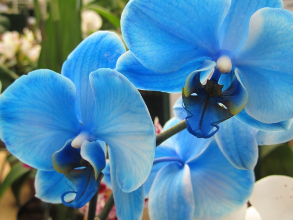 blaue-orchideen-wunderschöne-blumen-in-blau-blumendeko-ideen-tischdeko-blau