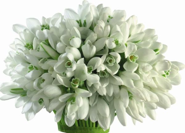 blumstrauß-in-weiß-galanthus-nivalis-amaryllisgewächse-schneeweiße-blume-pflanzen