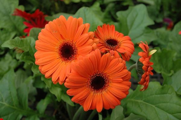 bunter-garten-gestalten-frühlingsblumen-gerbera-sommerblumen