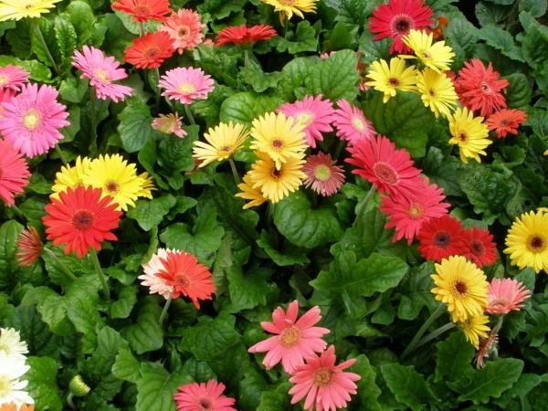 -bunter-garten-gestalten-frühlingsblumen-gerbera-sommerblumen