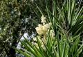 Yucca Palme – 26 fantastische Bilder zur Inspiration!