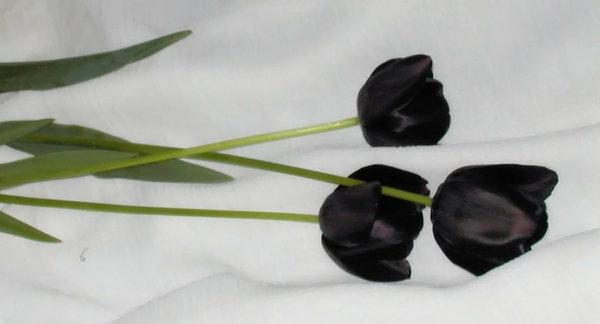 drei-wirklich-schöne-schwarze-tulpen