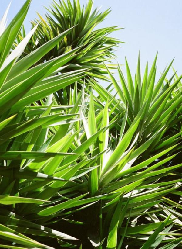 Yucca Palmenn