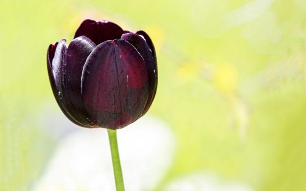 eine-sehr-schöne-blume-schwarze-tulpe