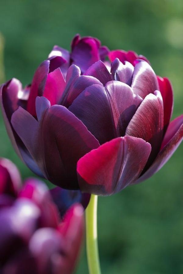 erstaunliche-bilder-tulpen-pflanzen-die-tulpe-tulpen-aus-amsterdam-tulpen-bilder-tulpen-kaufen