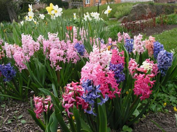 erstaunliche-hyazinthen-in-verschiedenen-schönen-farben