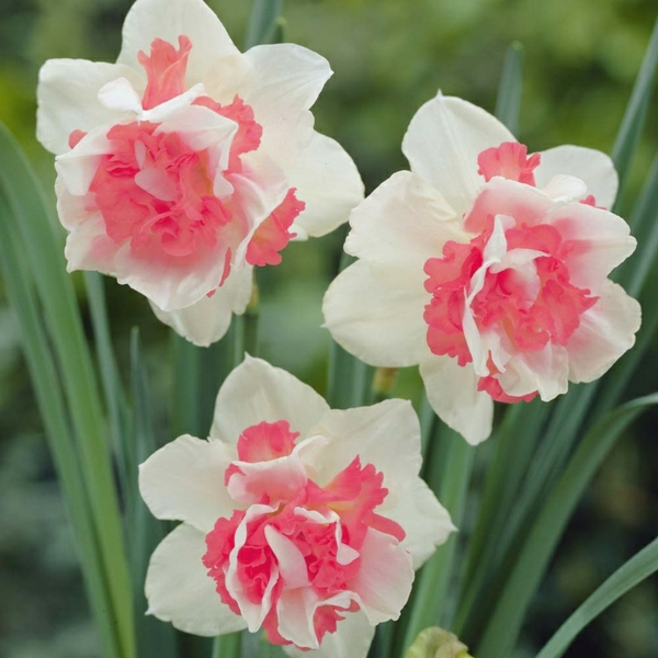 erstaunliche-rosa-und-weiße-narzisse-gartenpflanzen-deko-für-den-garten-frühlingsblumen