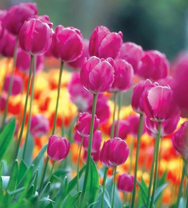 Frühlingsblumen-fantastische-bilder-tulpen-pflanzen-die-tulpe-tulpen-aus-amsterdam-tulpen-bilder-tulpen-kaufen