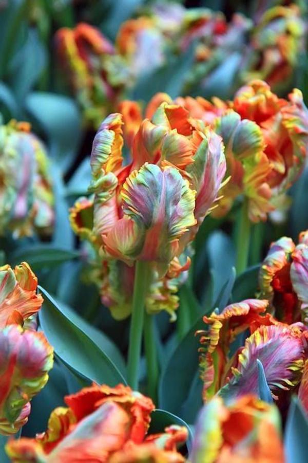 fantastische--bilder-tulpen-pflanzen-die-tulpe-tulpen-aus-amsterdam-tulpen-bilder-tulpen-kaufen